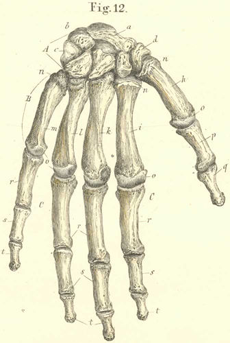 The bones of the right hand and their assemblage seen from the dorsal