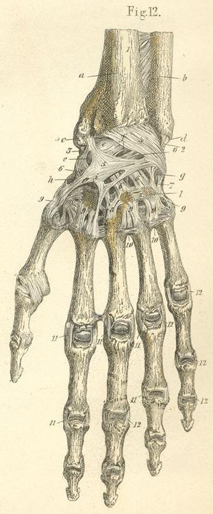 Anatomy Atlases Atlas Of Human Anatomy Plate 7 Figure 12