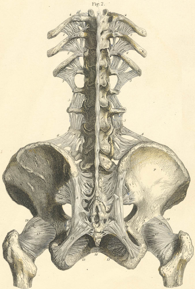 Anatomy Atlases: Atlas of Human Anatomy: Plate 8: Figure 2