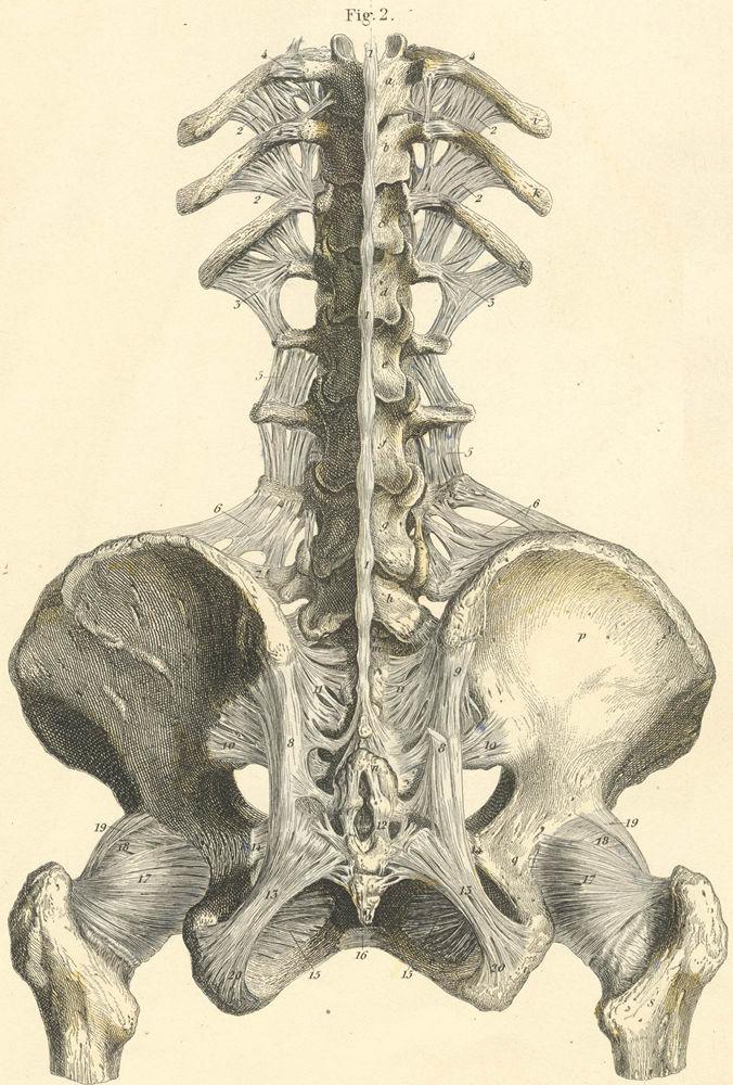 Anatomy of spine and pelvis