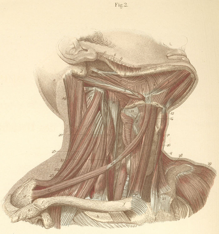 Neck Muscles On The Right Side Of The Neck Pictures Anatomy Atlas
