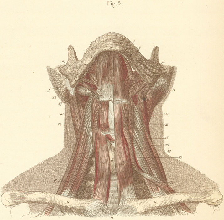 Neck Muscles Of The Anterior Surface Pictures Anatomy Atlas
