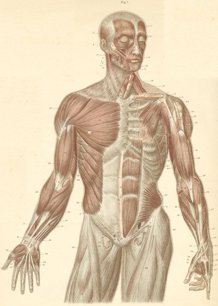Muscles of The Head Neck And Trunk Head Trunk And Arm Muscles