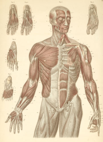 anatomy atlases: atlas of human anatomy: plate 11, Muscles