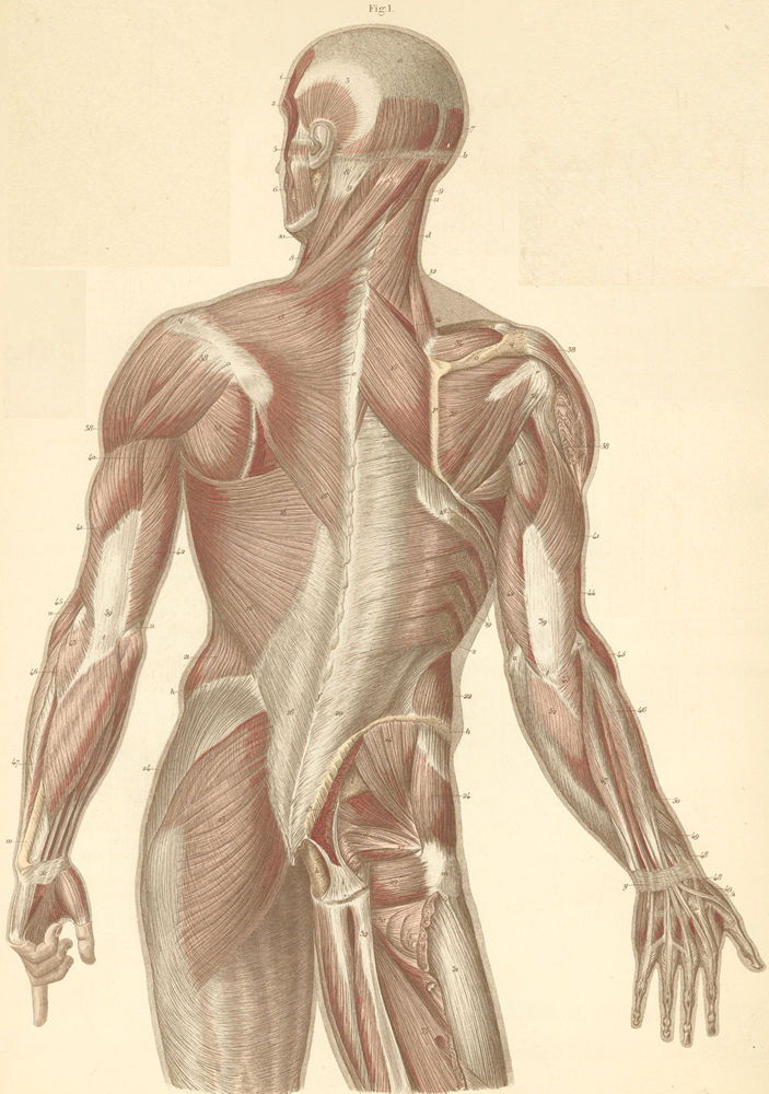 Muscles of the neck, back, and dorsal surface of the arm pictures ...