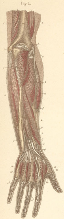 forearm muscles dorsal surface pictures 13-4_static.jpg
