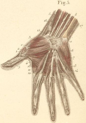 Anatomy Atlases: Atlas of Human Anatomy: Plate 13: Figure 5
