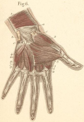 anatomy atlases: atlas of human anatomy: plate 13: figure 6, Muscles