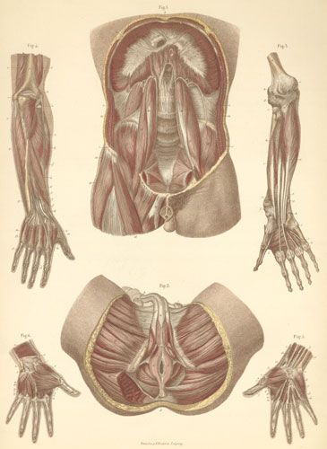 Anatomy atlases atlas of human anatomy plate 13 plate 13 muscles of the abdomen pelvis and deep arm ccuart Choice Image