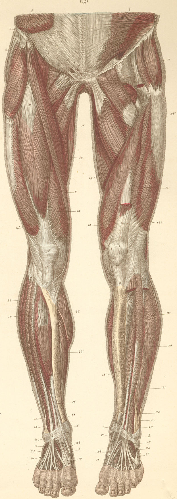 Anatomy Atlases: Atlas of Human Anatomy: Plate 14: Figure 1