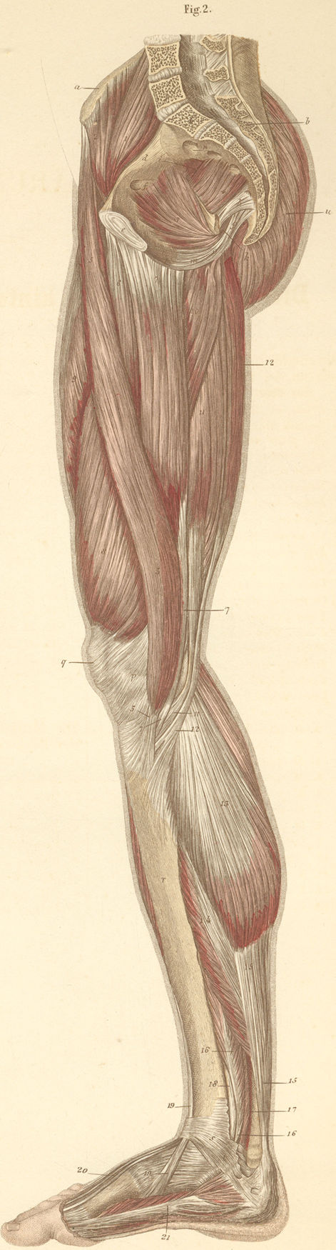 Anatomy Atlases: Atlas of Human Anatomy: Plate 15: Figure 2