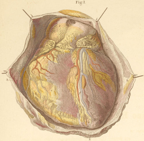 The intact heart seen from the anterior surface lying in the opened pericardium