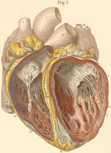 The heart seen from the anterior surface with opened heart chambers