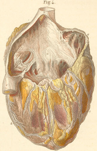 The heart seen from the right side with opened right vestibule