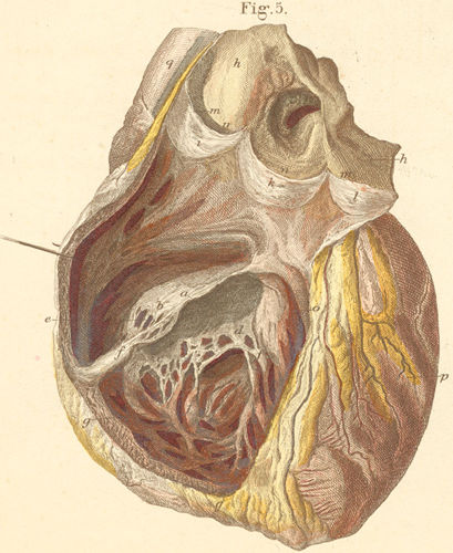 Right heart chamber, opened from its anterior surface