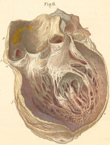 The left heart chamber, opened anteriorly