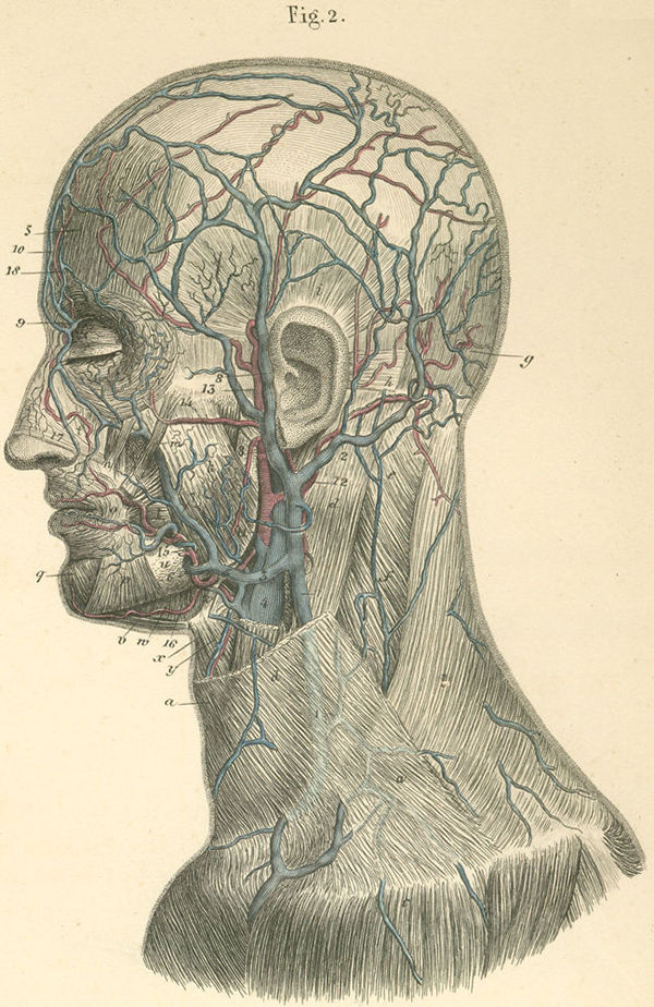 Arteries and veins on the left side of the face and neck
