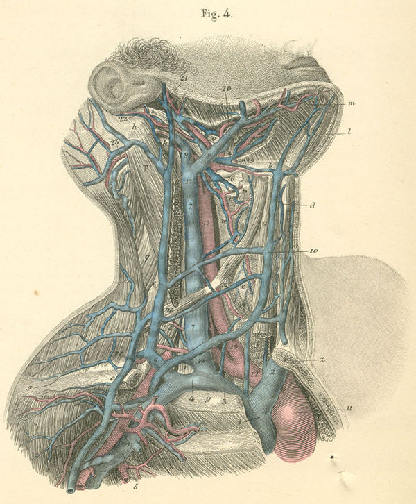 Neck veins and arteries anatomy