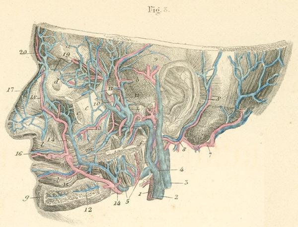 Anatomy Atlases: Atlas of Human Anatomy: Plate 19: Figure 3