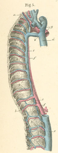 vertebral column right side, azygos 19-5_static.jpg