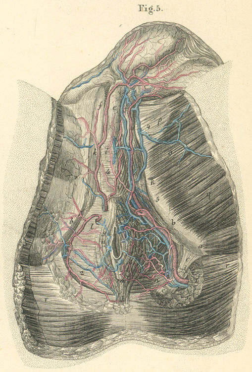Blood vessels and muscles of the male perineum pictures - anatomy atlas