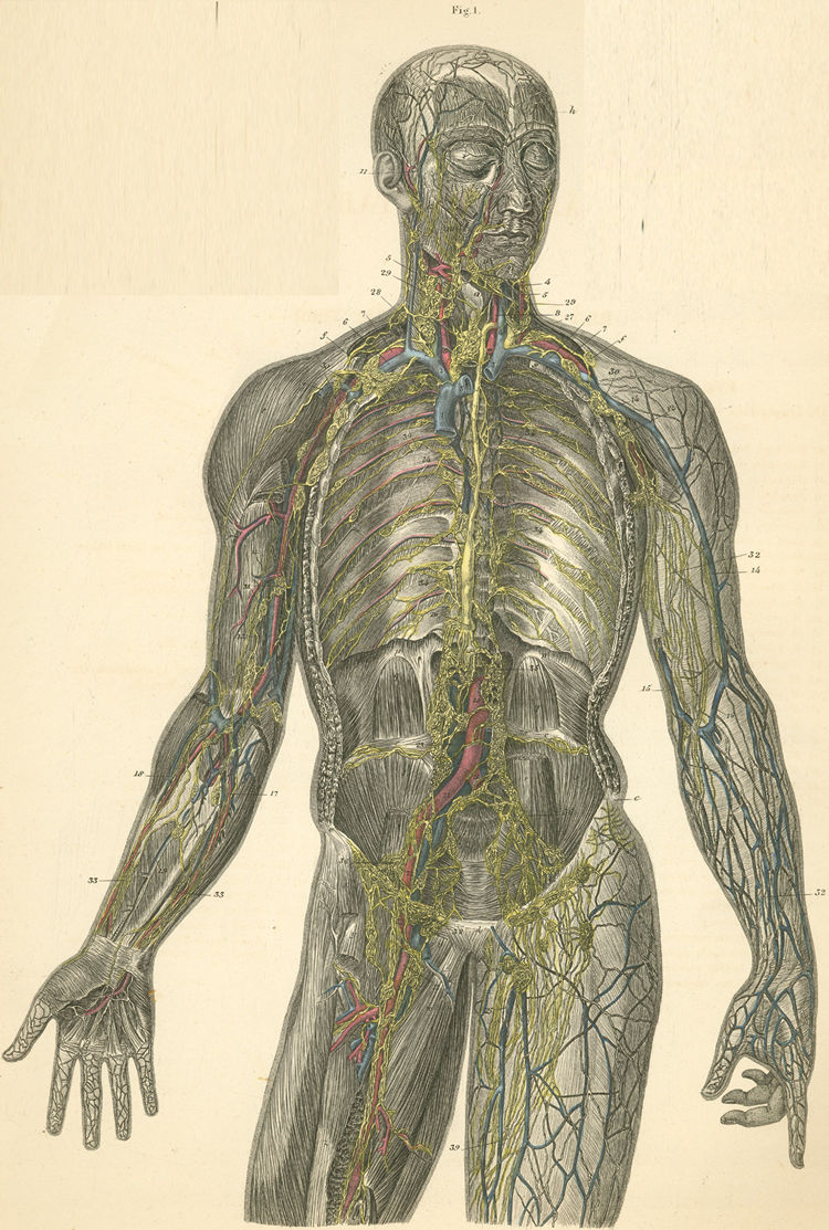 'Lymph vessels of the head, trunk and arm, forearm and hand' from the web at 'http://www.anatomyatlases.org/atlasofanatomy/plate22/images/22-1_static.jpg'