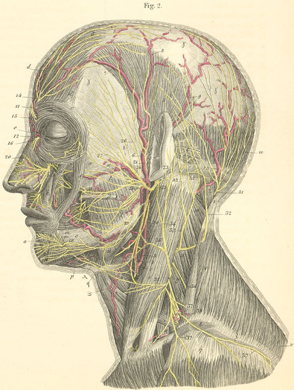 Anatomy Atlases: Atlas of Human Anatomy: Plate 25: Figure 2