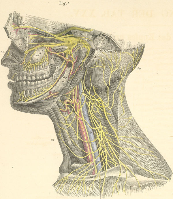 Deep Nerves Of The Head And Neck Left Side Pictures Anatomy Atlas