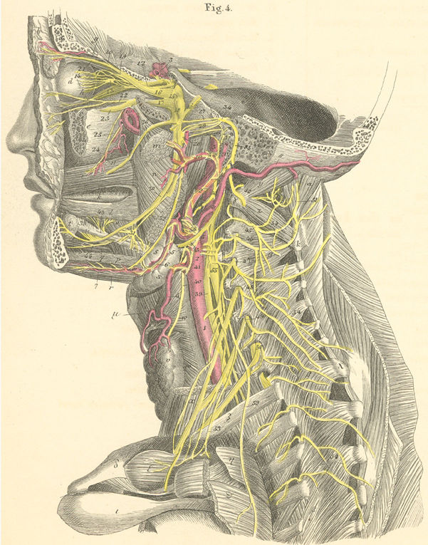 Anatomy Atlases: Atlas of Human Anatomy: Plate 25: Figure 4