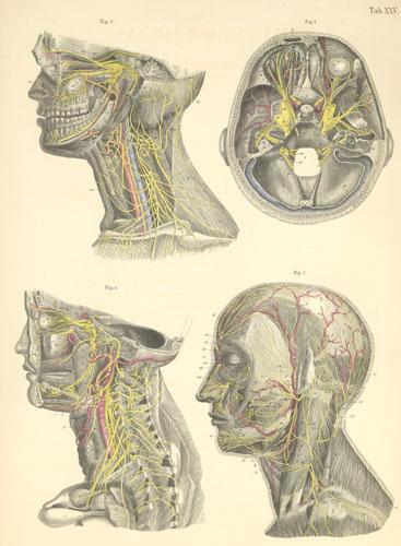 Anatomy Atlases: Atlas of Human Anatomy: Plate 25