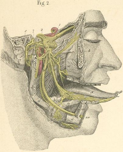 anatomy atlases: atlas of human anatomy: plate 26: figure 2, Human Body