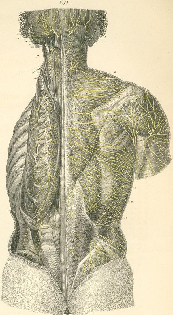 Anatomy Atlases: Atlas of Human Anatomy: Plate 27: Figure 1