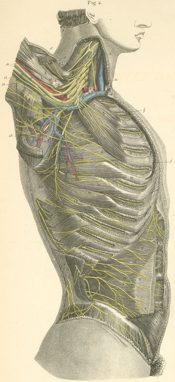nerves of the right axilla and lateral surface of the thorax