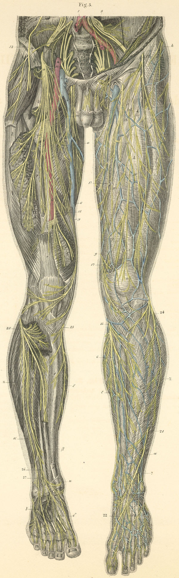Anatomy atlases atlas of human anatomy plate 28 figure 3 skin and muscle nerves of the anterior surface of the left leg ccuart Gallery
