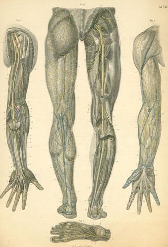 Anatomy Atlases Atlas Of Human Anatomy Plate 29