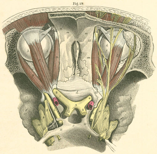 anatomy atlases: atlas of human anatomy: plate 31: figure 19, Human Body
