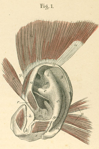 left  outer ear cartilage  Ear Cartilage Anatomy