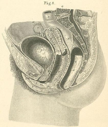 outer inner female organs, sagittal 36-8_static.jpg