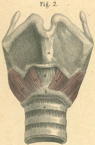 Larynx with muscle, viewed from the front