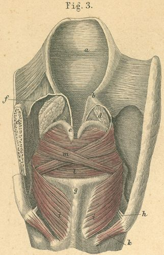 Larynx with muscle, viewed from behind