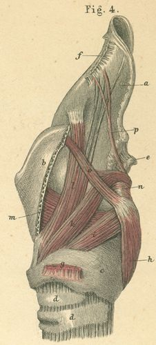 Muscles and cartilages of the larynx, seen from the side
