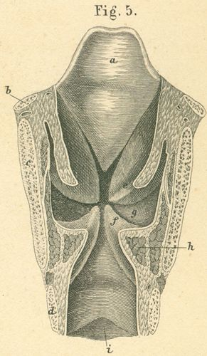 Coronal section through the larynx and cranial end of the trachea
