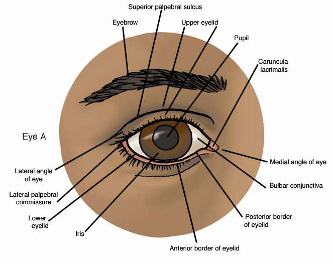 Anatomy Atlases: Anatomy of First Aid: A Case Study Approach: The Eye